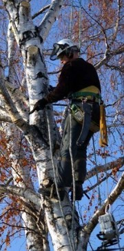 Baumschnitt und Baumsanierung durch Gärtnerei Meier